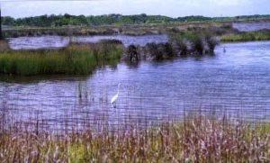 Louisiana marsh and white heron